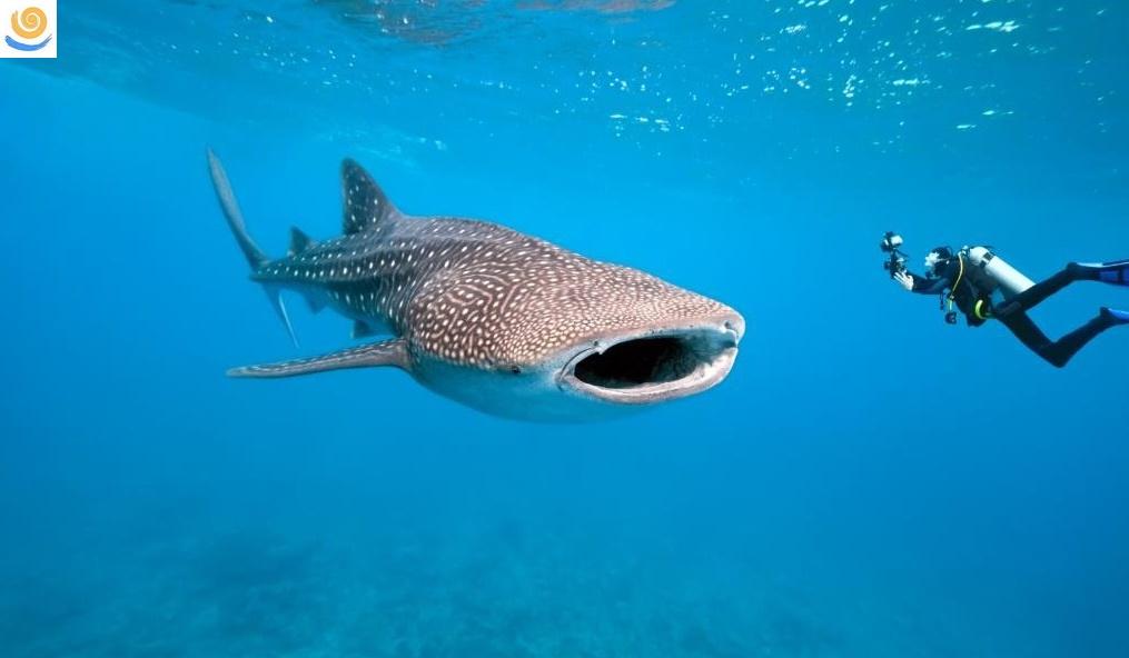 В Египте новая достопримечательность - Китовая акула