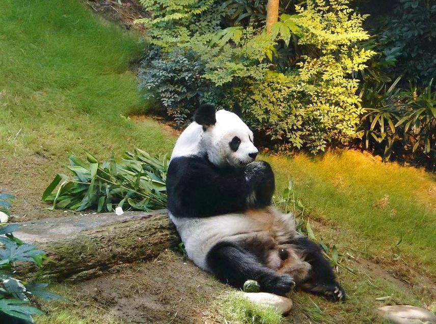 В Китае планируют создание нового заповедника для панд